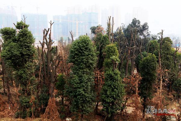 成都420厂+大楼后的树林